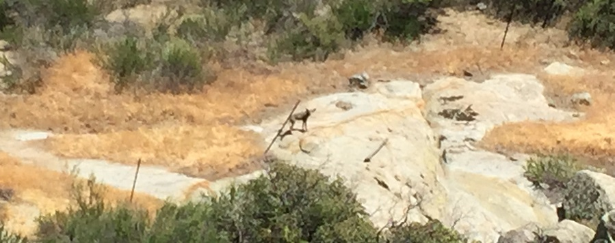 Coyote stuck in barbed wire