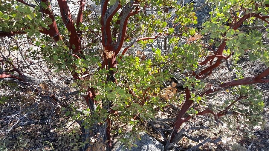 Day 2 - Manzanita trees