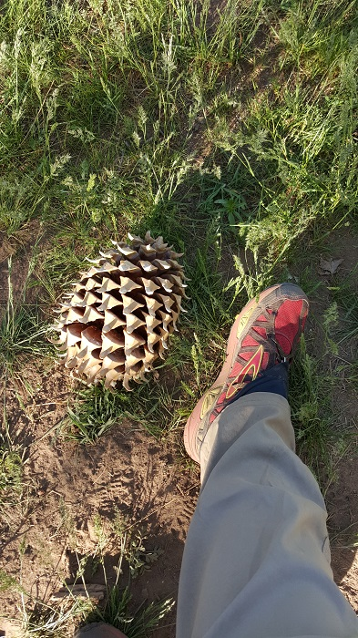 Large pine cone at horse trough