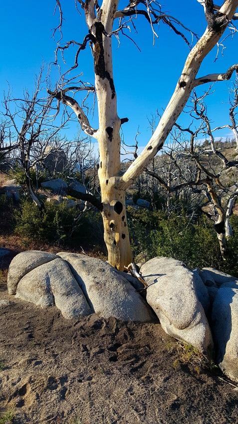 20150528_182108_unusual splotched tree